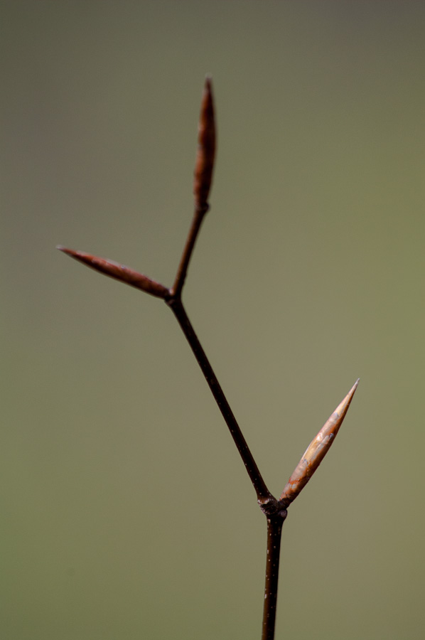 American Beech () is slow to bud out. As the buds swell, it has just dropped last year's leaves. But hang on! The new leaves will arrive in a week or two and are stunningly beautiful.