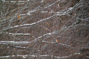 The often horizontal branches of Beech, with a few leaves hanging on all winter, are outlined by new snow.
