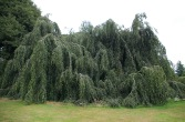 This fine, old ornamental Weeping Beech lives in Kew Gardens.