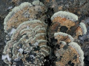 Many rocks hosted Concentric Ring Lichen (Arctoparmelia centrifuga)