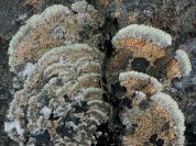 Many rocks hosted Concentric Ring Lichen (Arctoparmelia centrifuga)