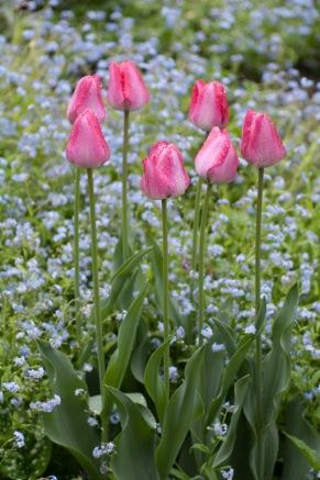 Tulip-3096