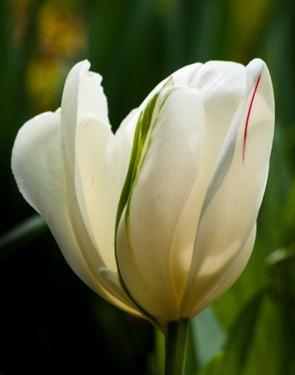 Tulip-5972