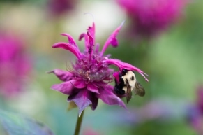 Deep into the Monarda