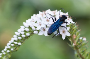 Gooseneck Loosestrife and a lovely wasp