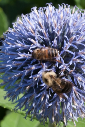 A pair of pollinators on a Globe Thistle
