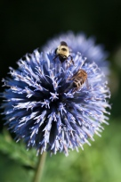 Enough for everyone on this Globe Thistle