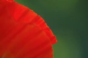 Poppies-0864