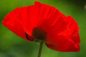 Poppies-0865