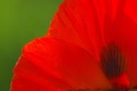 Poppies-0866