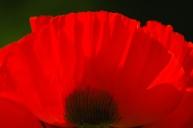 Poppies-0867