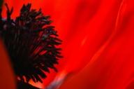 Poppies-0876