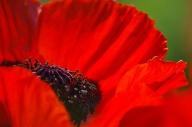 Poppies-0878