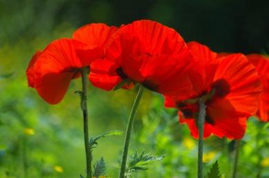 Poppies-0881