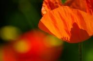 Poppies-0888