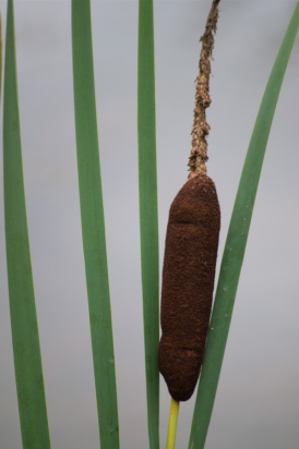 I could probably be happy photographing cattails for the rest of my life!