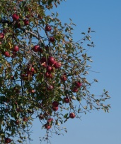 Our walks lately have included sampling (mostly) wild apples at nearly every turn—a bumper crop this year!