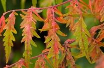 Cut-leaf sumac