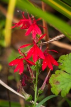 This Cardinal Flower managed to sneak in under other plants.