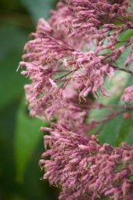 A fall standby, Joe Pye Weed, is also a boon to the bees.