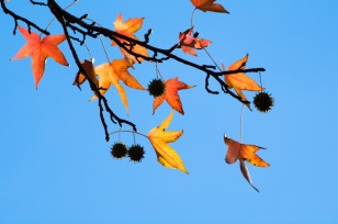 Sweetgum, both fruit and late leaves.