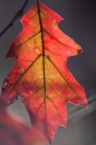 A few last leaves of Red Oak light the way to dusk.