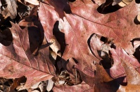 The forest floor rustles with leaves of all kinds of oaks.