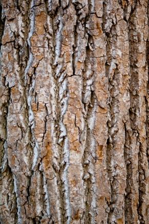 The beautiful bark of Tulip Poplar.