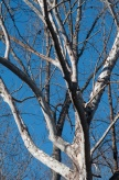 Sycamore, along the rivers, so bold against the sky.