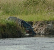 The pathways the hippos create, both into the water and walking on land, are formidable.