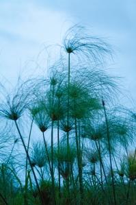 Paparus reeds abound in the Delta.