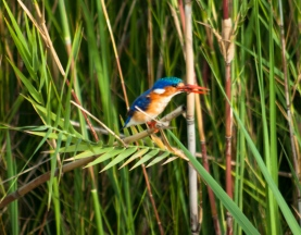 The Malachite Kingfisher, seen here with an insect in its bill.
