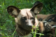 """While """"cute"""" might be an adjective that comes to mind, it is also not hard to remember these are wild dogs, not cute, domesticated ones."""