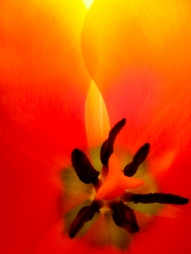 Tulip-1970