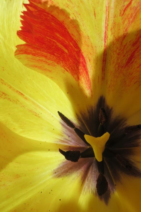 Tulip-1976