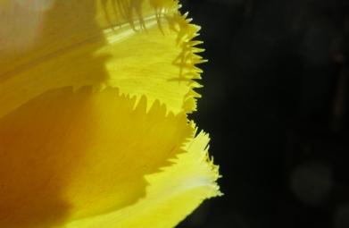 Tulip-1977