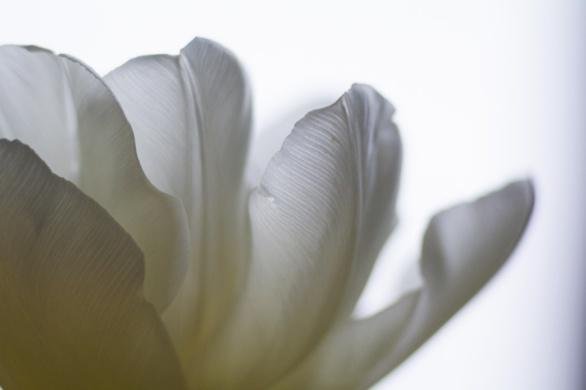 Tulip-5312