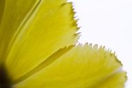 Tulip-5313