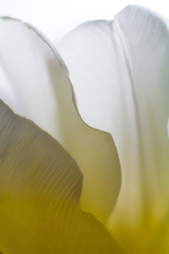 Tulip-5321