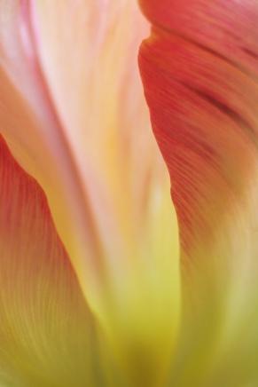 Tulip-5328