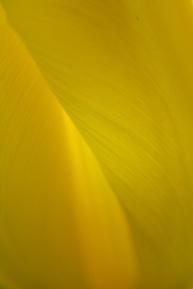 Tulip-5441