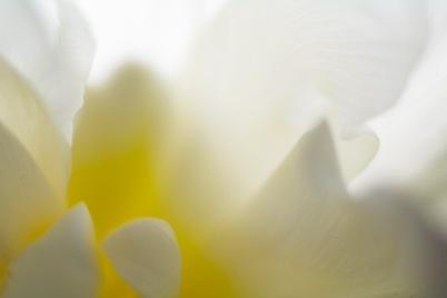 Tulip-5445