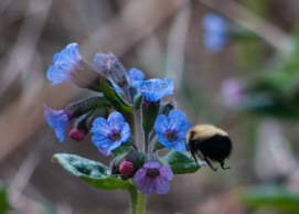 The bumblebees have returned, at least on warmer days, to find nectar in early flowers like Pulmonaria.