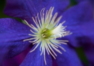 How lovely is the Clematis bloom?