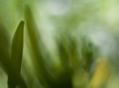 A Daylily bud getting ready.