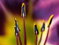 Stamens and pollen of a Daylily.