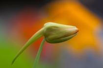 Nasturtium bud against flowers in the background