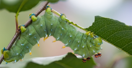 Cecropia caterpillar