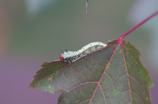 A caterpillar of a Green Striped Mapleworm