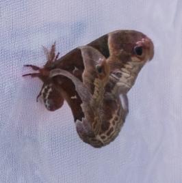 A Prometheus moth